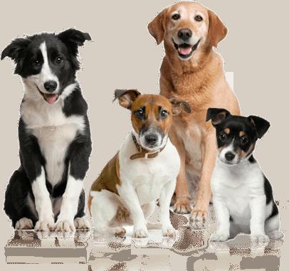 Dog age calculator to convert dog years to human years.
