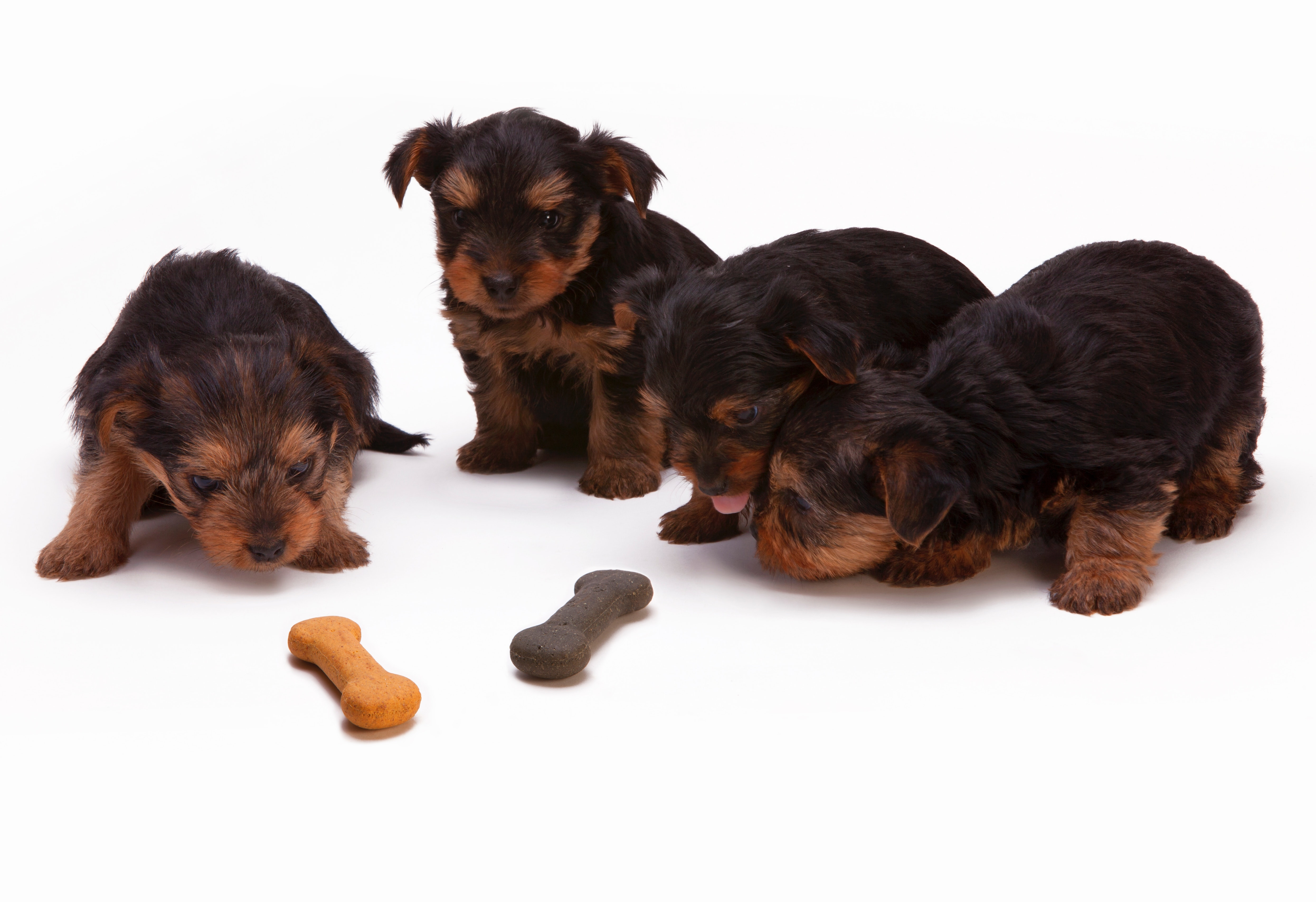 How Much Does A Teacup Yorkie Costs The Goody Pet