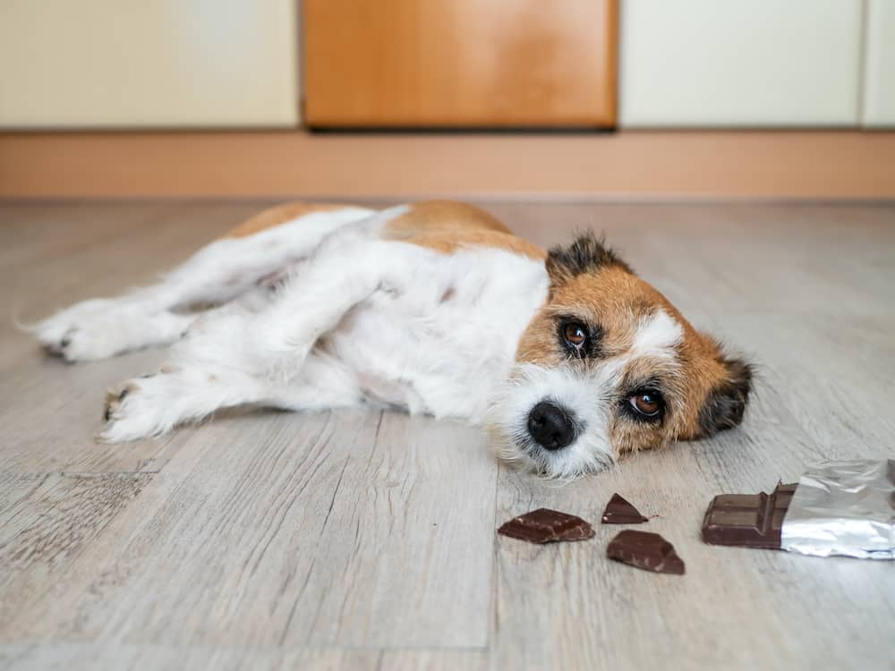 how much chocolate is toxic for your dogs