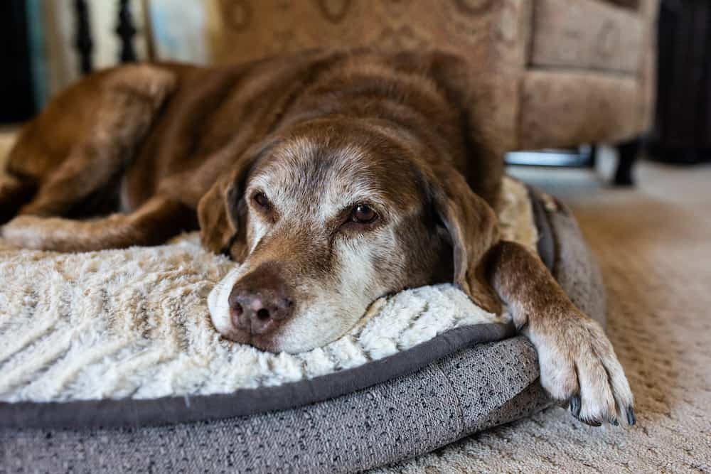 dog-life-expectancy-calculator-what-determines-a-dog-s-lifespan