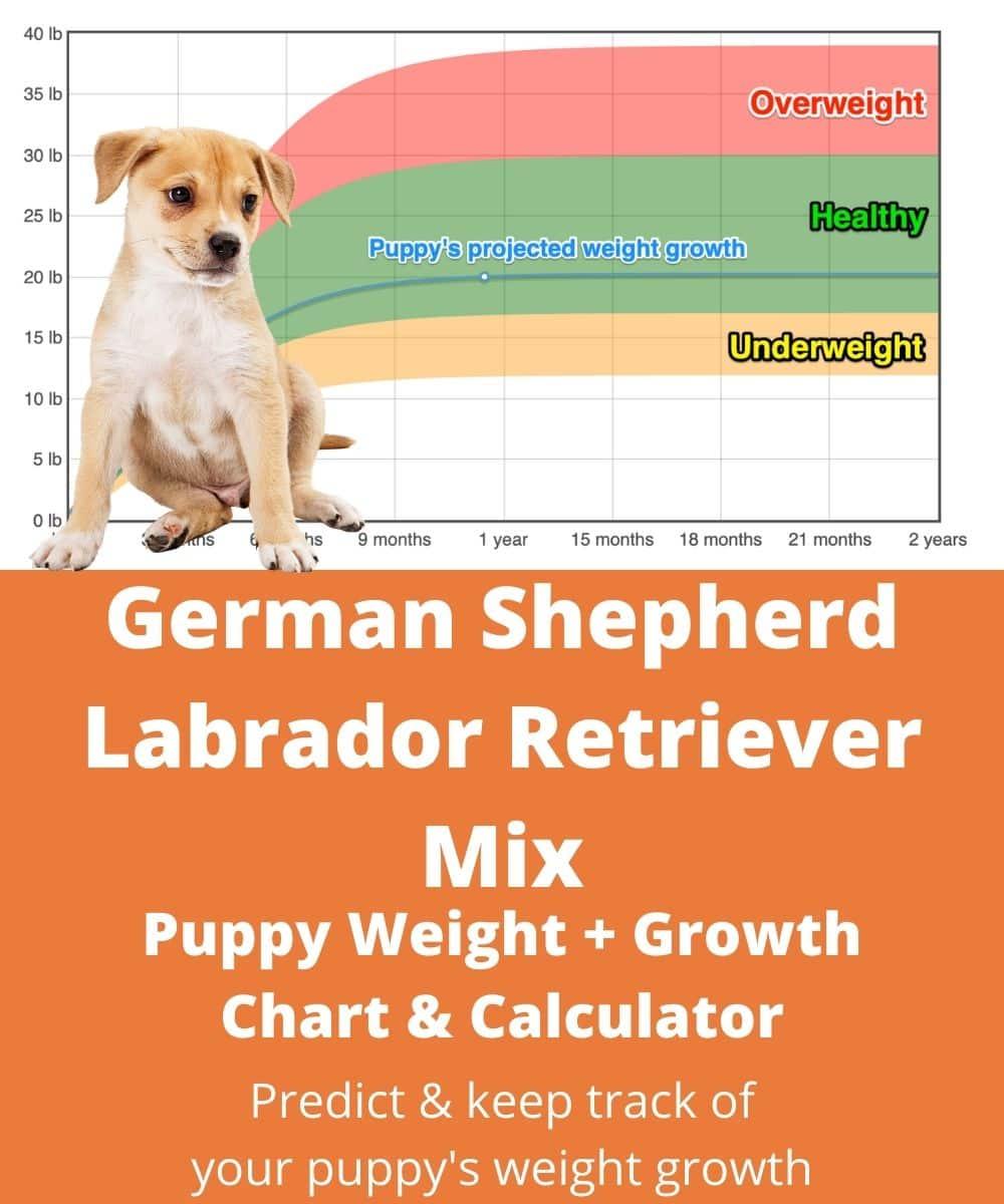 Labrador Retriever Size Chart